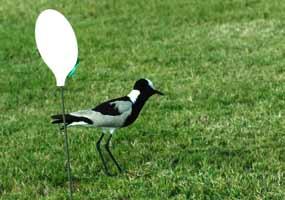 lapwing-nest2