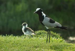Blacksmith Lapwing with chick