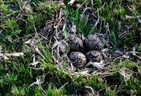 Blacksmith Lapwing nest