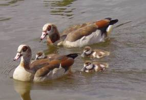 Egyptian Goose family